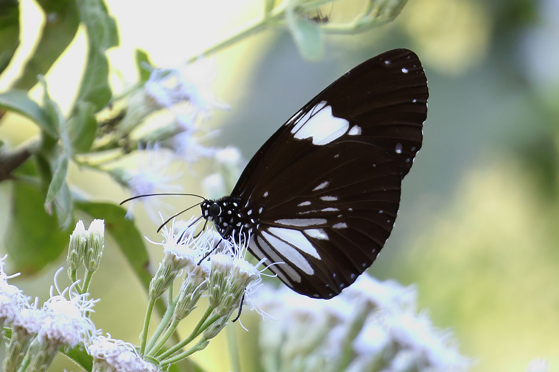 Oriental Magpie Crow butterfly, Ban Na Hin, Laos.