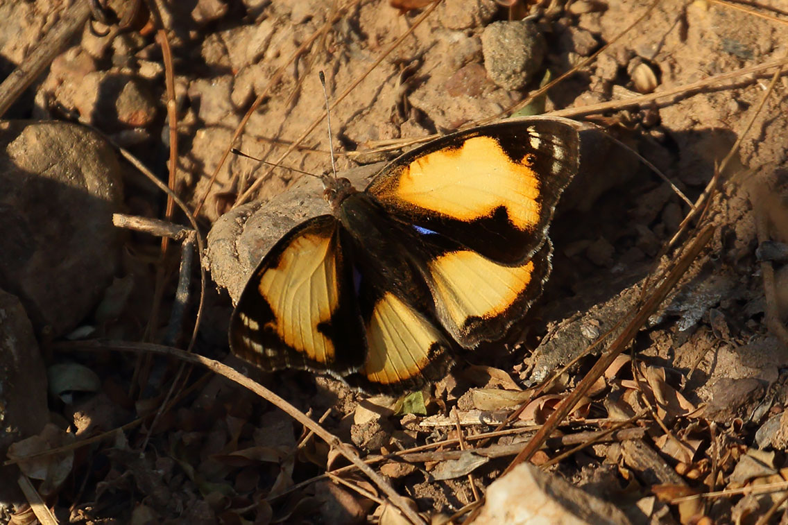 Yellow Pansy butterfly, Ban Na Hin, Laos.
