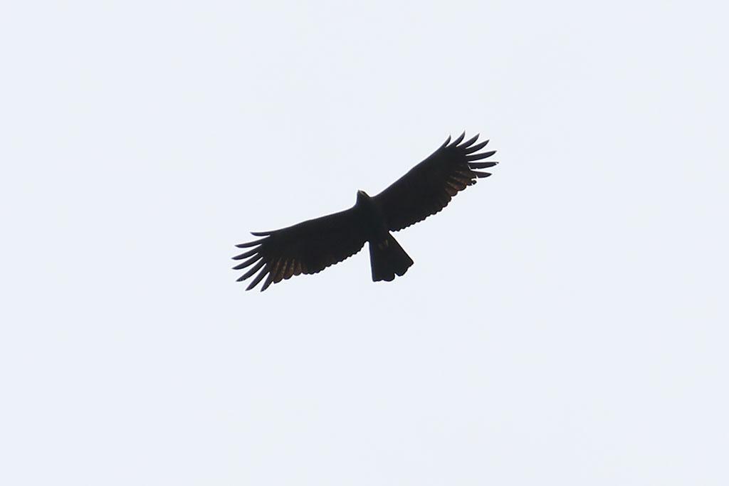 Black Eagle (Ictinaetus malaiensis), Near Ban Na Hin, Khammouane Province, Laos.