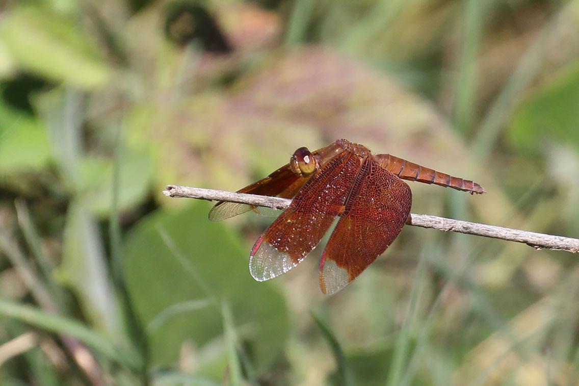 Dragonfly sp., Near Ban Na Hin, Khammouane Province, Laos.