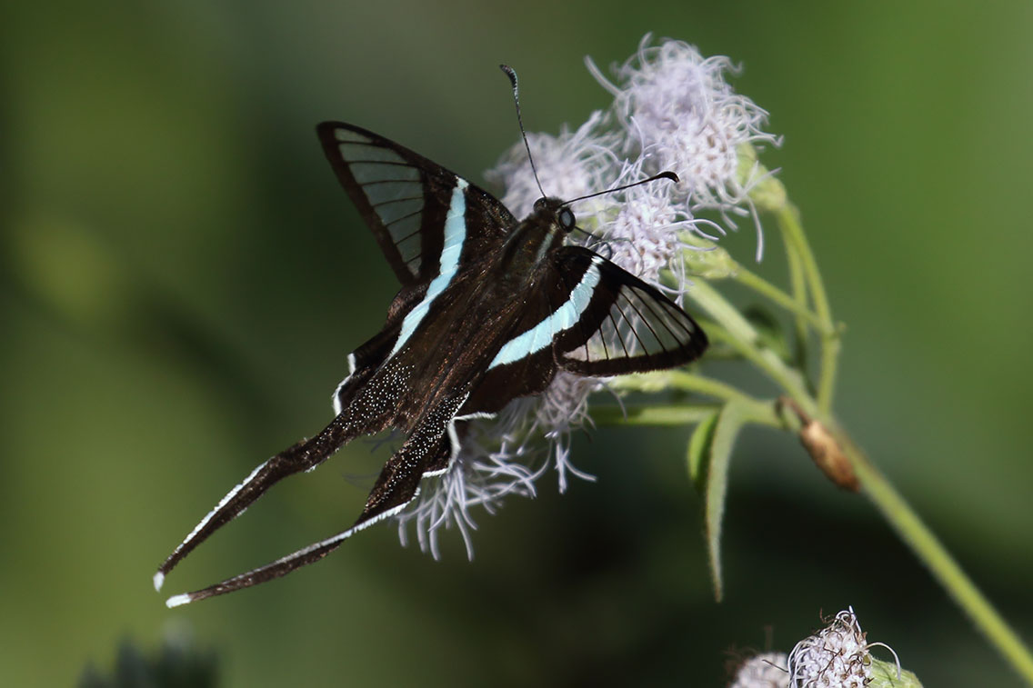Green Dragontail butterfly, Dragon Cave, 35 km east of Ban Na Hin, Laos.