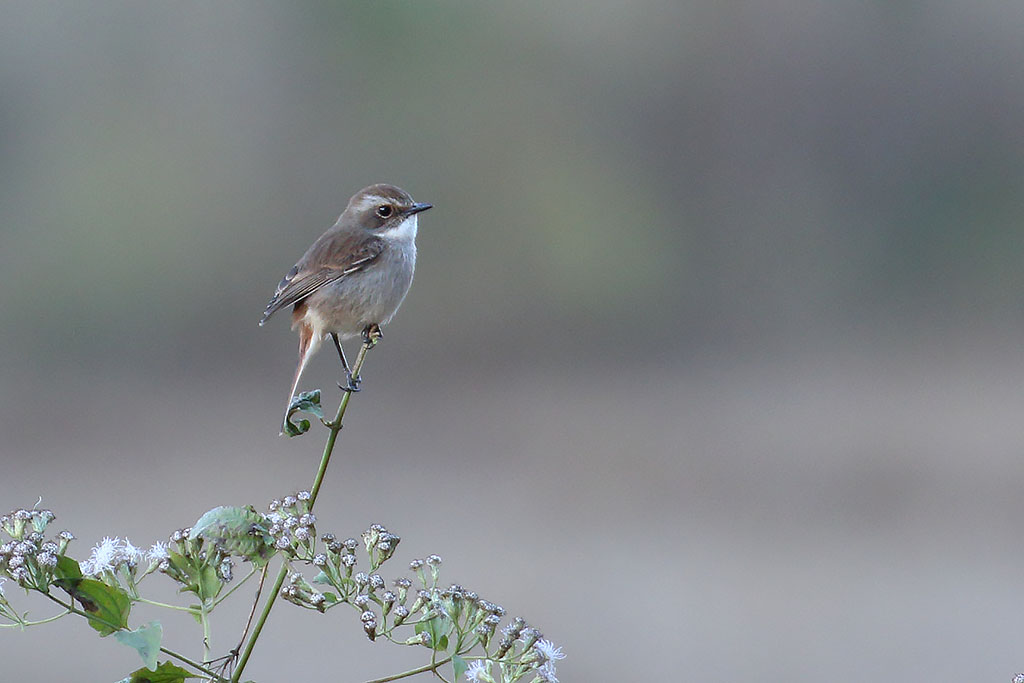 Grey Bushchat (Saxicola ferreus), Dragon Cave, 35km east of Ban Na Hin, Laos.