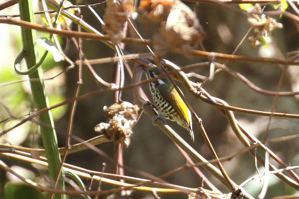 Speckled Piculet (Picumnus innominatus), Near Ban Na Hin, Khammouane Province, Laos.
