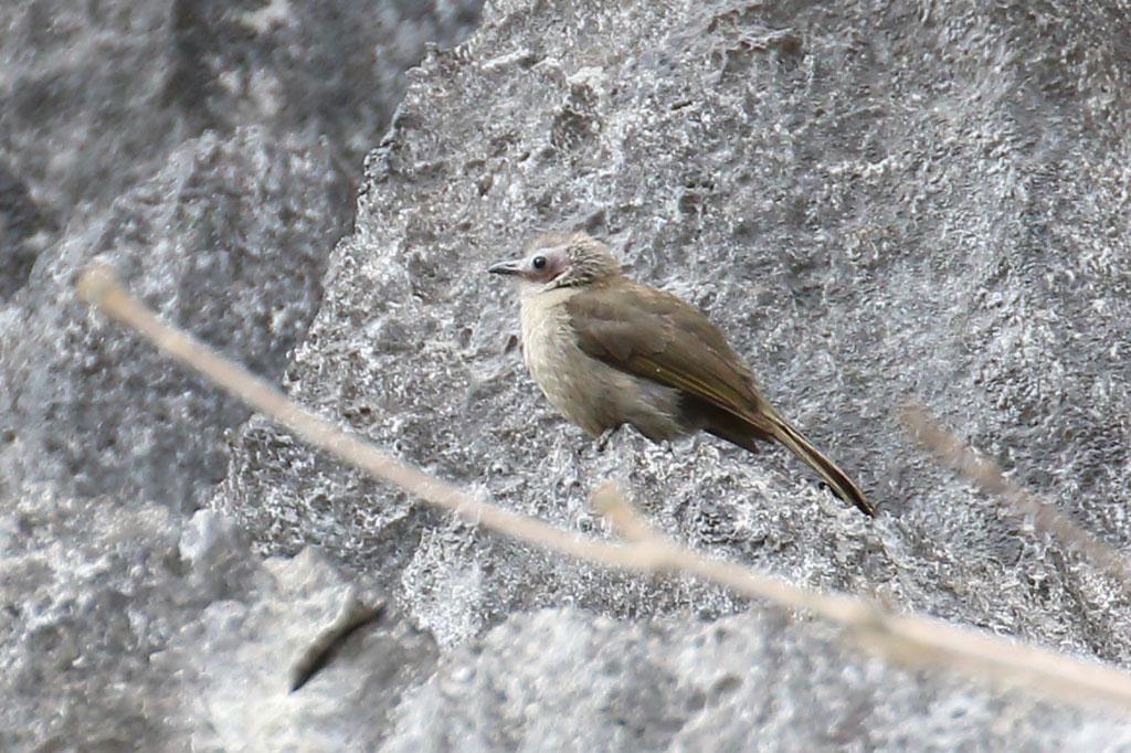 Bare-faced Bulbul (Pycnonotus hualon), Ban Na Hin, Khammouane Province, Laos.