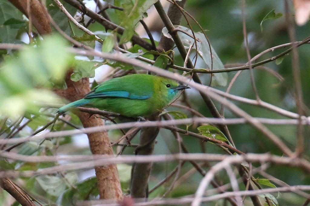 Blue-winged Leafbird (Chloropsis cochinchinensis), Ban Na Hin, Khammouane Province, Laos.