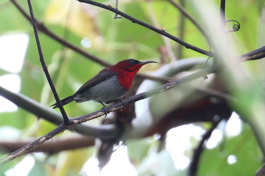 Crimson Sunbird (Aethopyga siparaja), Ban Na Hin, Khammouane Province, Laos.