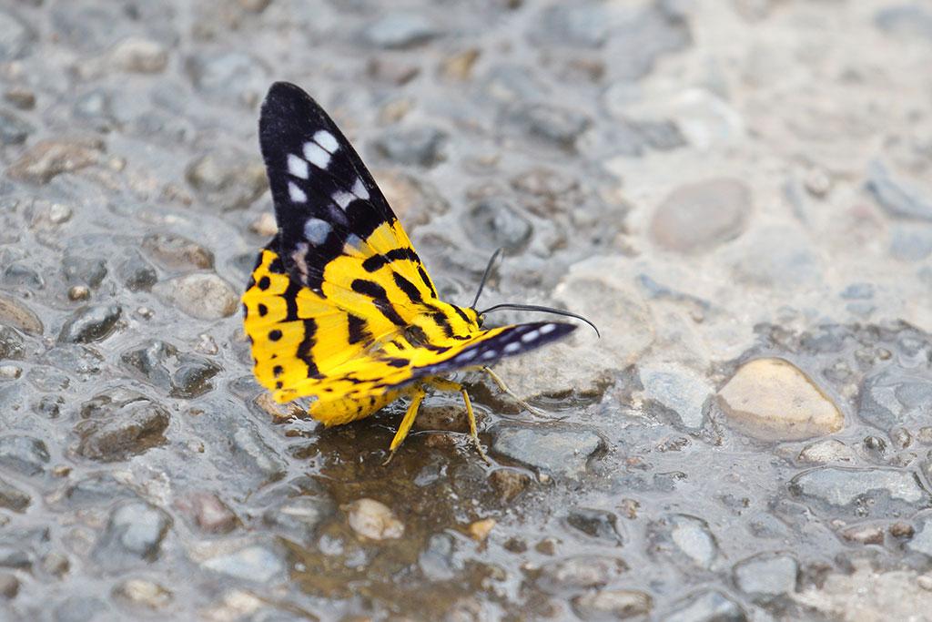 False Tiger Moth, Ban Na Hin, Khammouane Province, Laos.