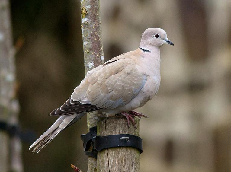 Collared Dove, Co. Wexford, Ireland.