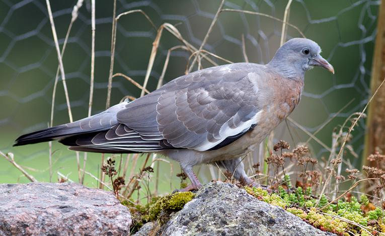 Wood Pigeon, Co. Wexford, Ireland.