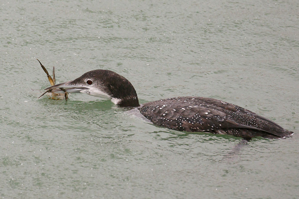 Great Northern Diver, Co. Wexford, Ireland.