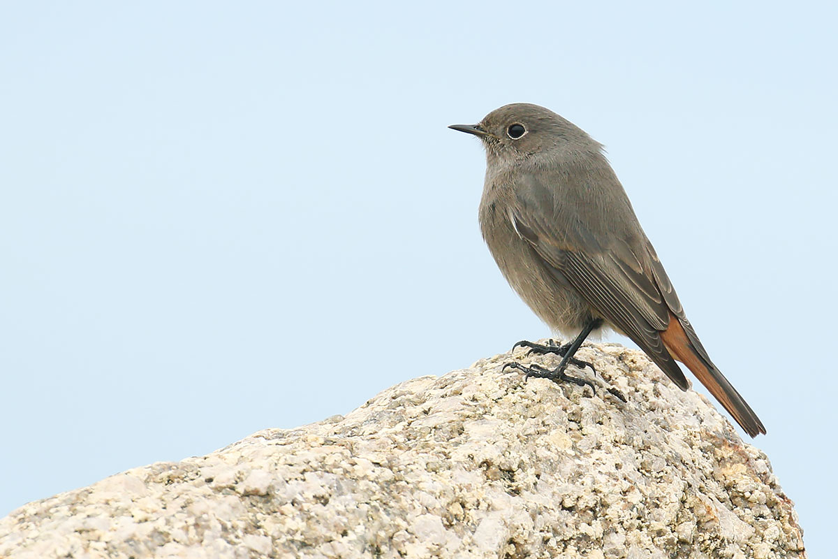 Black Redstart, Co. Wexford, Ireland.