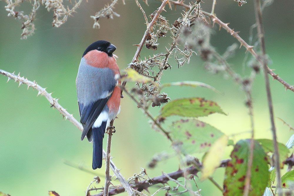 Bullfinch, Co. Wexford, Ireland