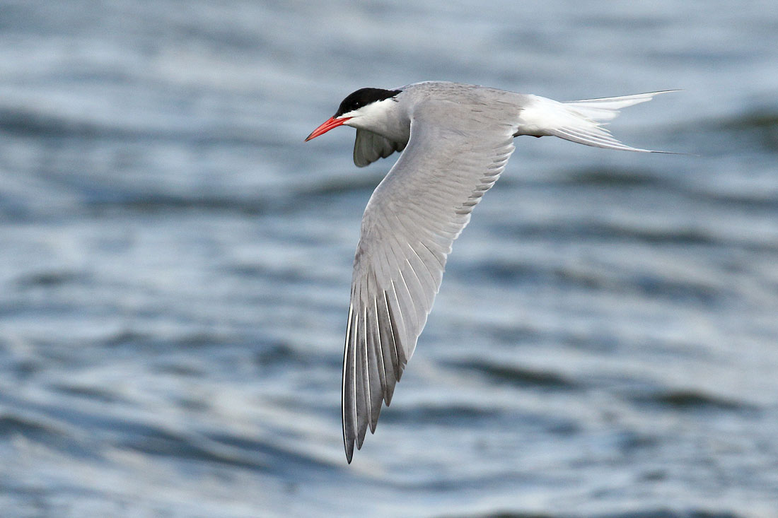 Common Tern, Co. Wexford, Ireland.