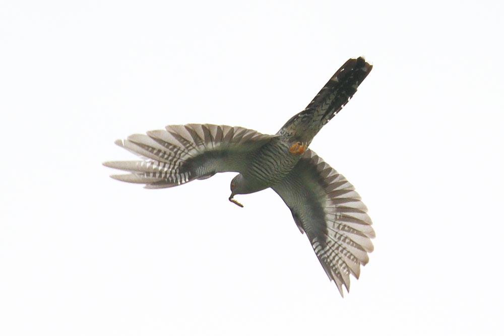 Cuckoo, Co. Wexford, Ireland