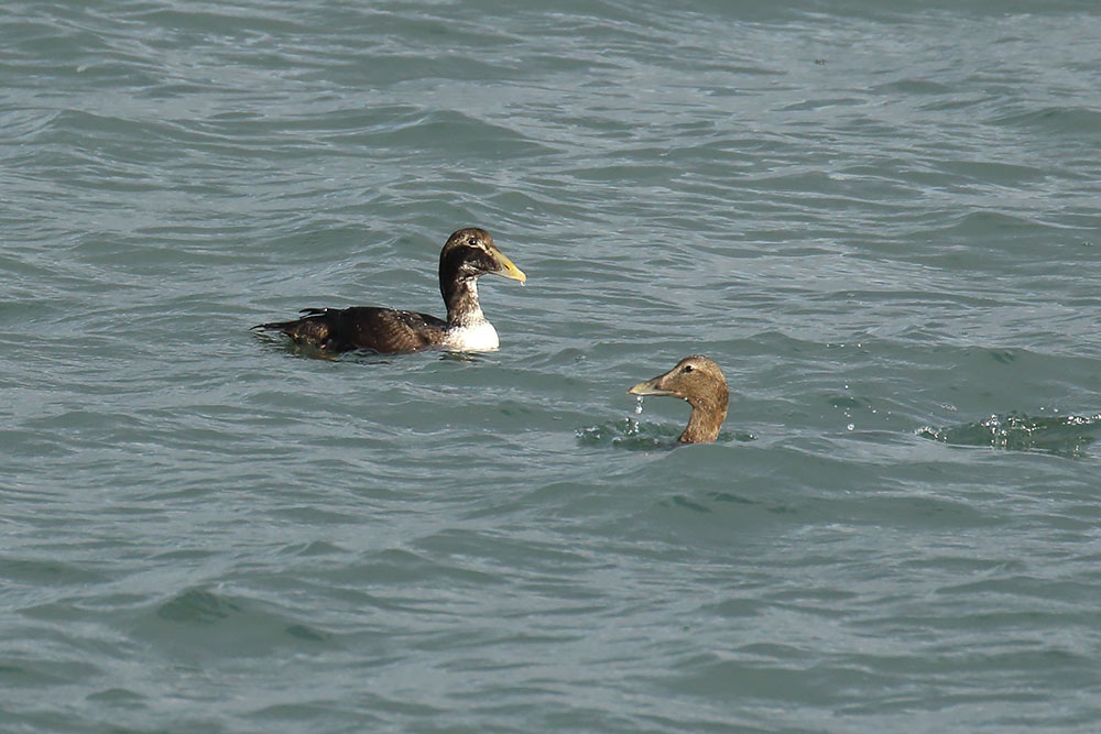 Eider, Co. Wexford, Ireland.