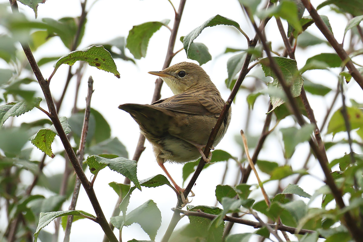 Grasshopper Warbler, Co. Wexford, Ireland.