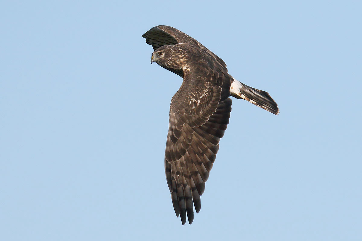 Hen Harrier, Co. Wexford, Ireland.