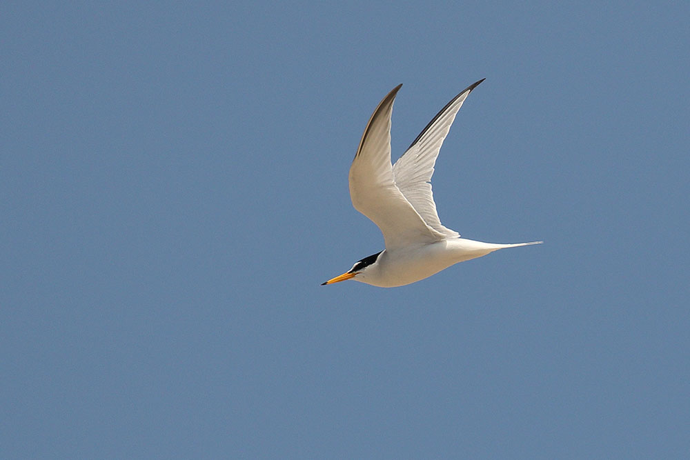 Little Tern, Co. Wexford, Ireland.