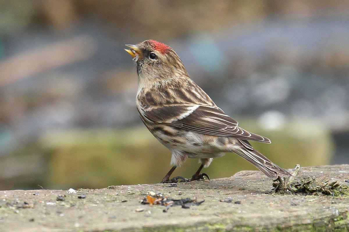Redpoll, Co. Wexford, Ireland.