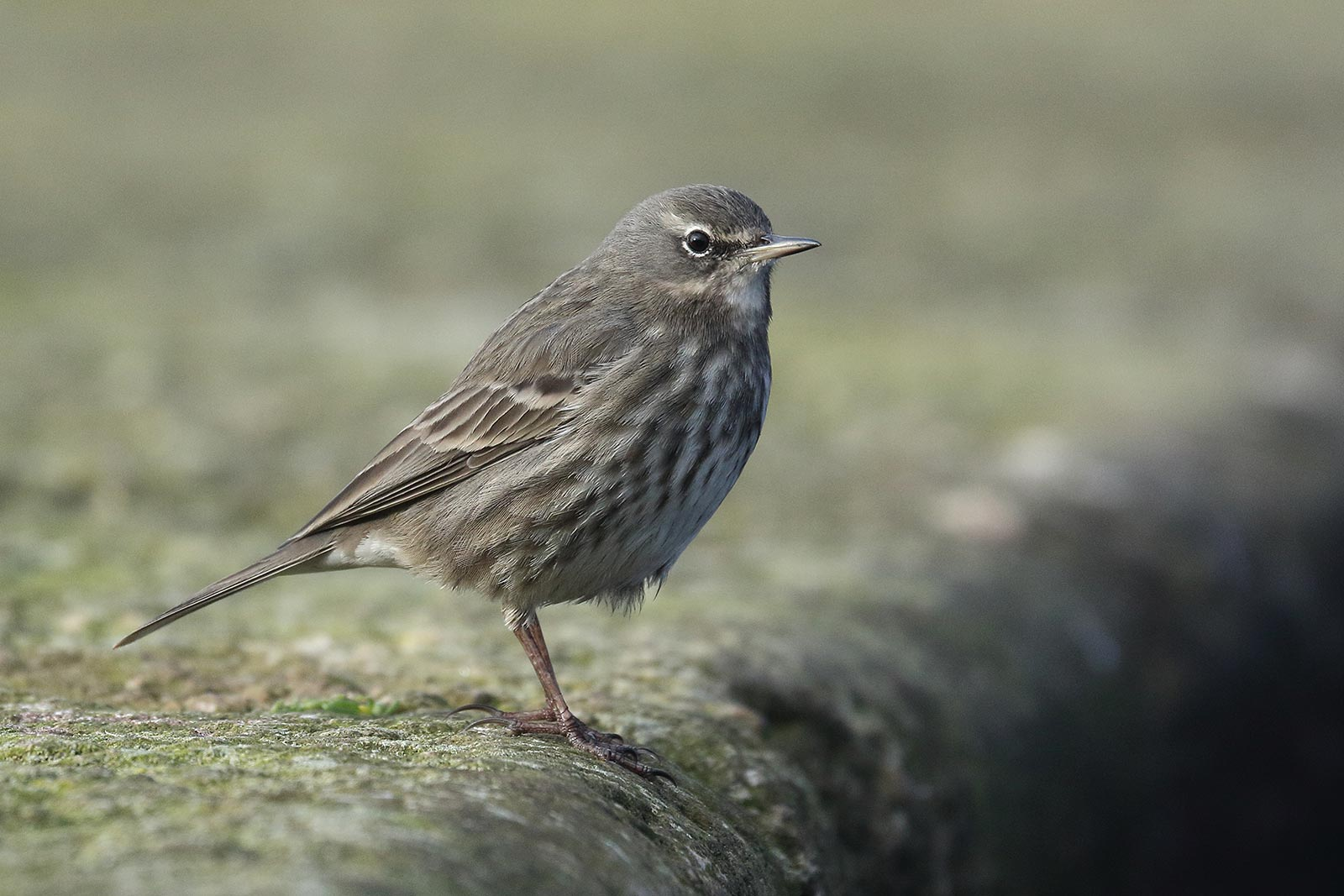 Rock Pipit, Co. Wexford, Ireland.