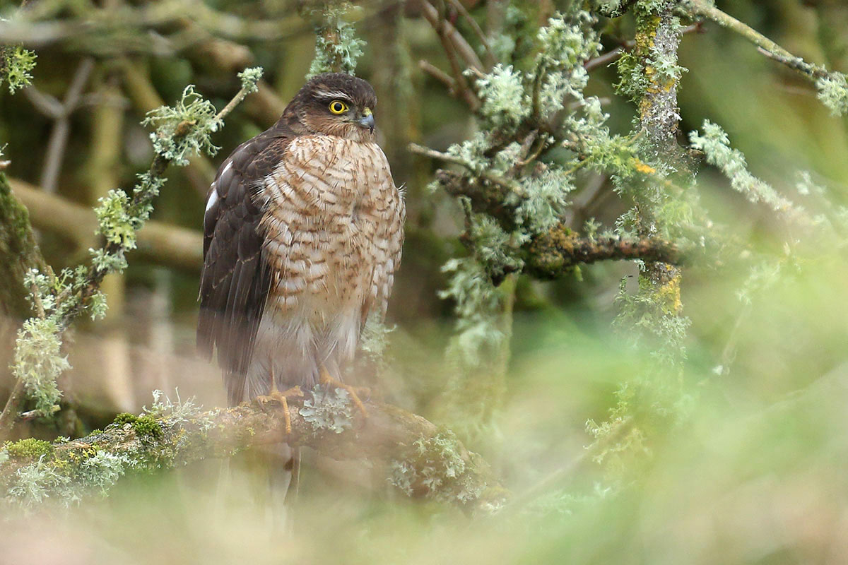 Sparrowhawk, Co. Wexford, Ireland.