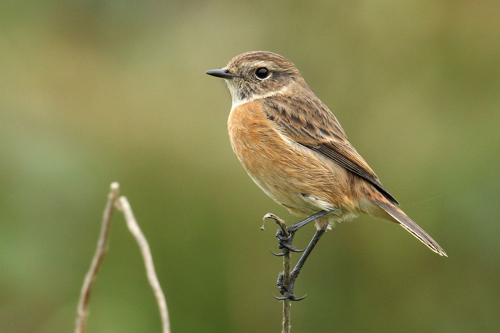 European Stonechat, Co. Wexford, Ireland.