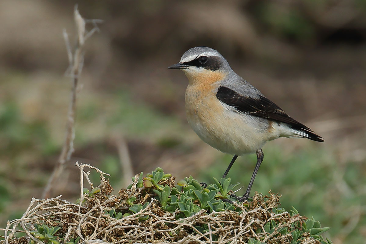 Northern Wheatear, Co. Wexford, Ireland.