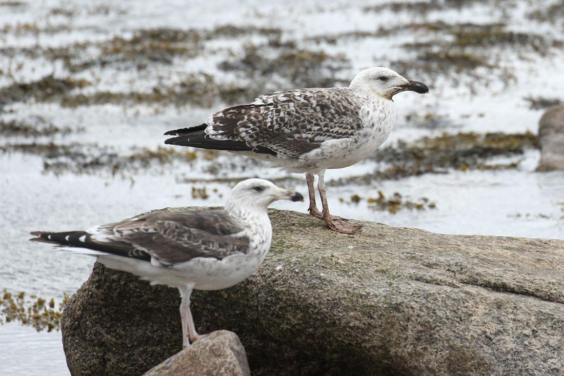 Great Black-backed Gull, Co. Wexford, Ireland