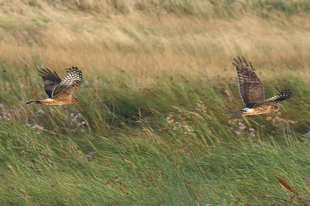 Hen Harrier, Co. Wexford, Ireland