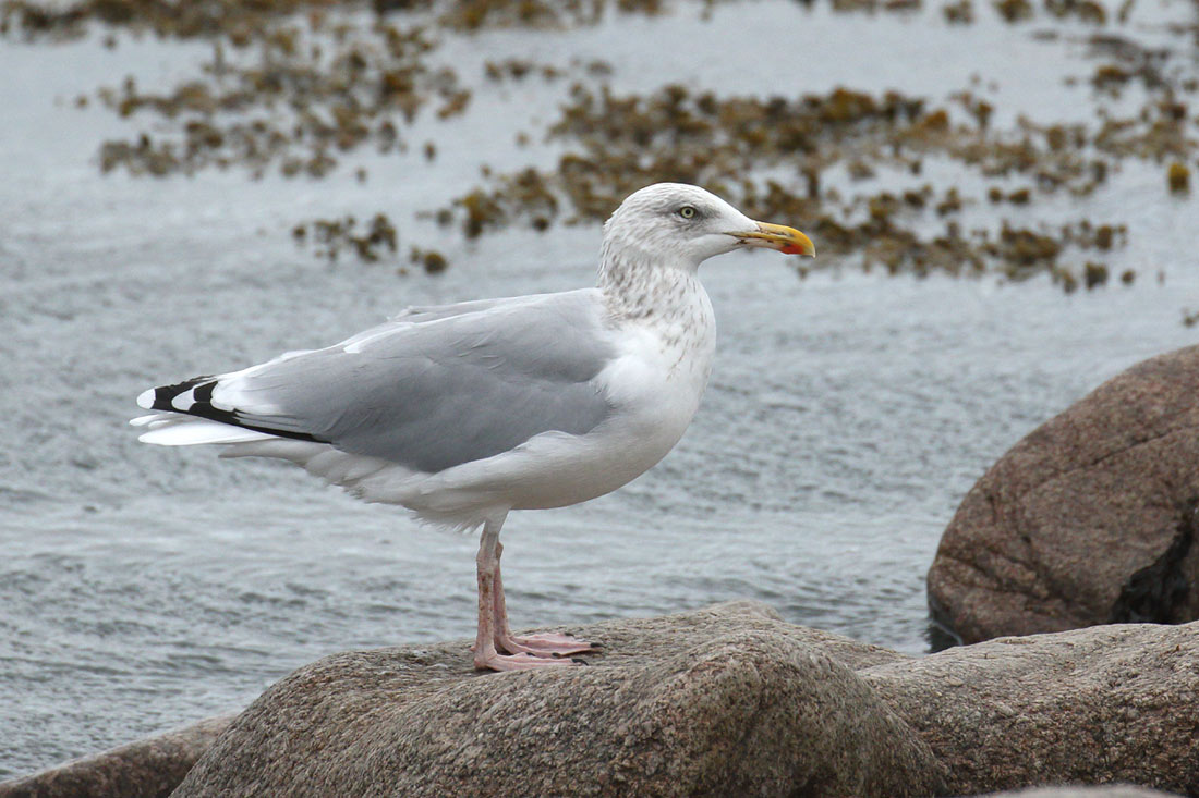 Herring Gull, Co. Wexford, Ireland