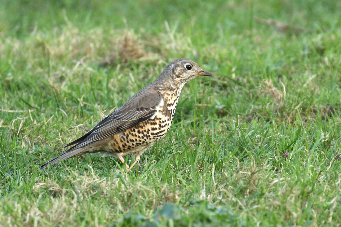 Mistle Thrush, Co. Wexford, Ireland.