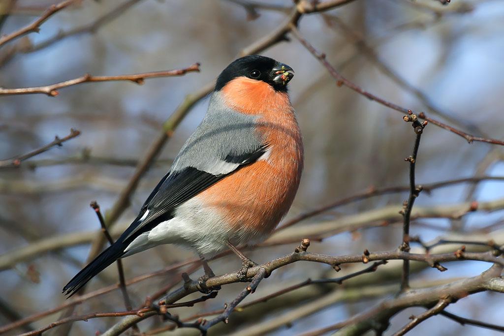 Bullfinch, Co. Wicklow, Ireland