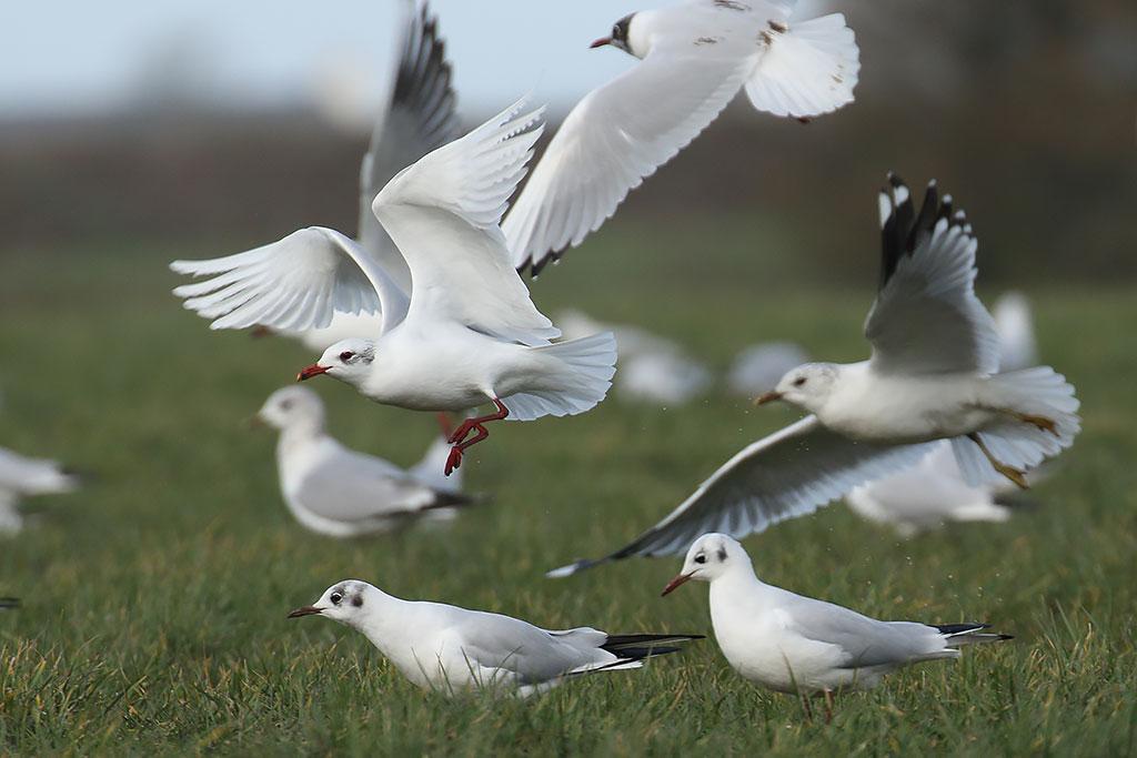 Mediterranean Gull, Co. Wexford, Ireland