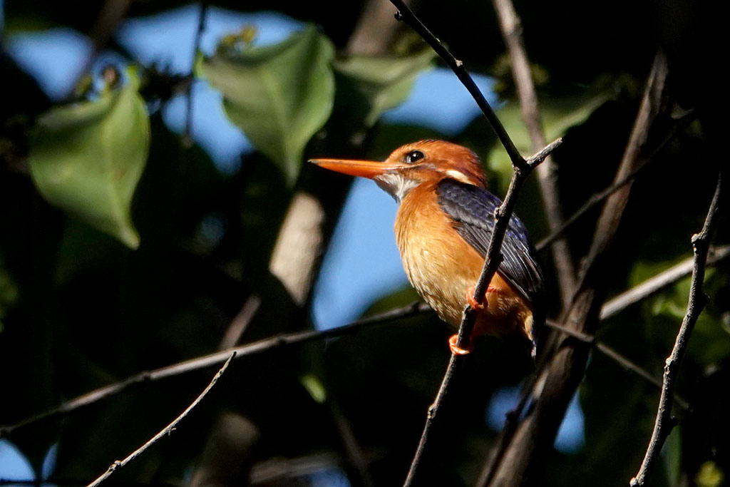 African Pygmy Kingfisher, Abuko Nature Reserve, The Gambia.