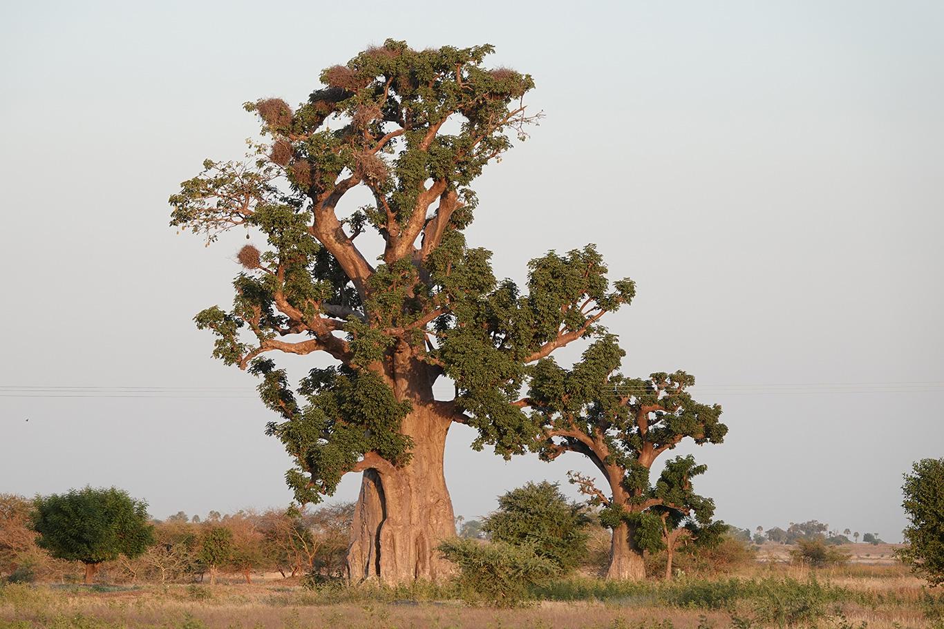 Baobab Tree, Near Farafenni, The Gambia.
