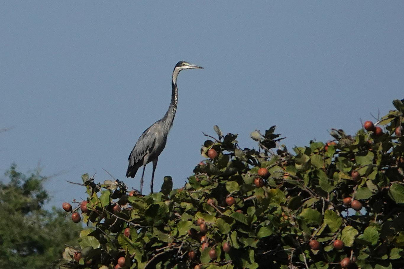 Black-headed Heron, Kartong, The Gambia.