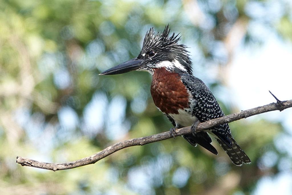 Giant Kingfisher, Abuko Nature Reserve, The Gambia.