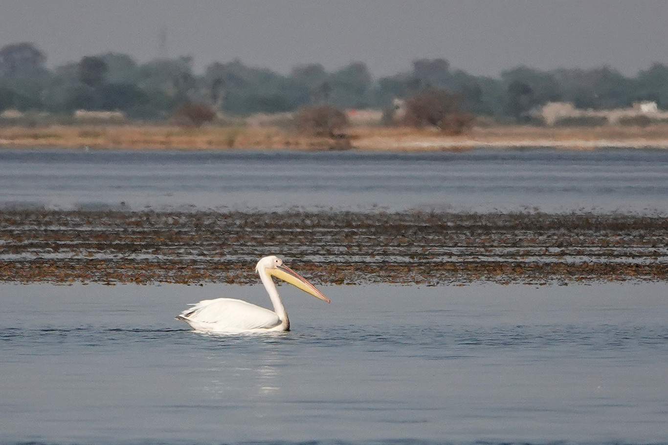Great White Pelican, Kaolack, Senegal.