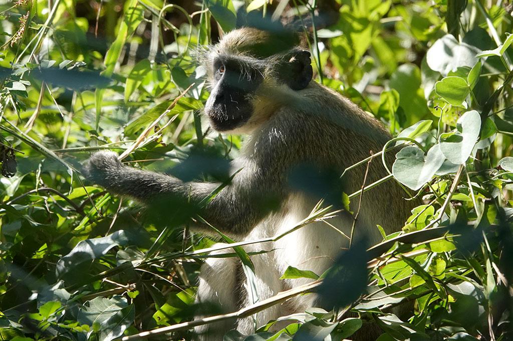 Green Monkey, Abuko Nature Reserve, The Gambia.