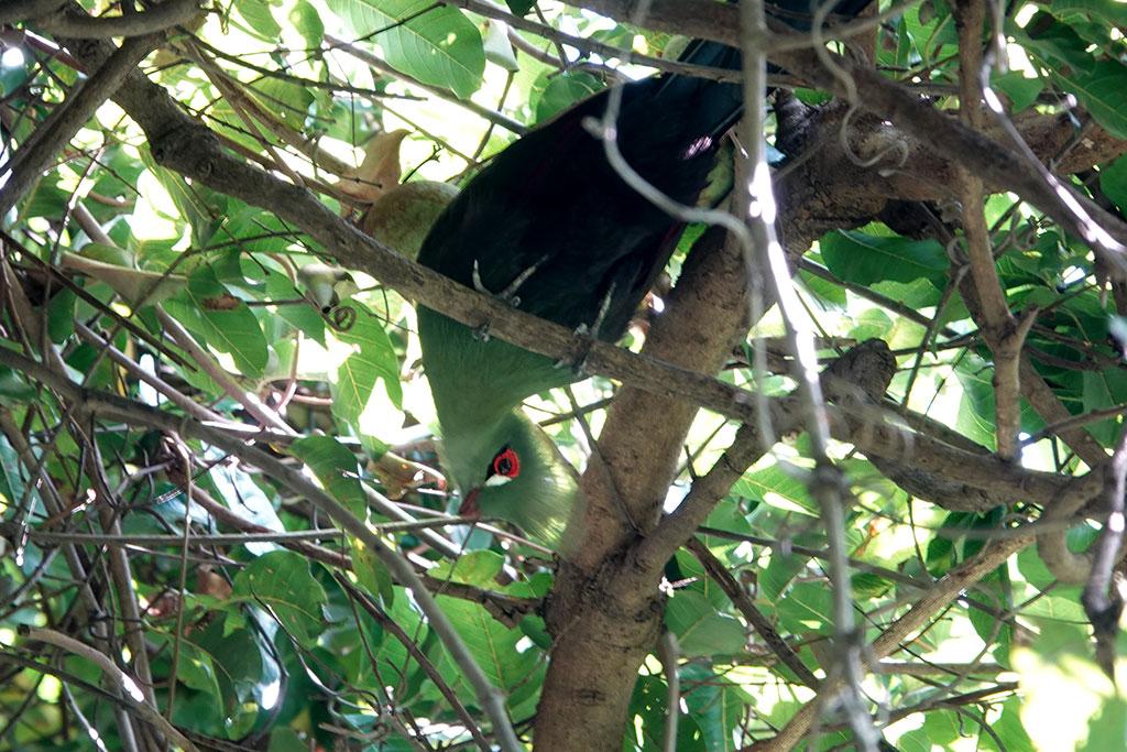 Green Turaco, Abuko Nature Reserve, The Gambia.