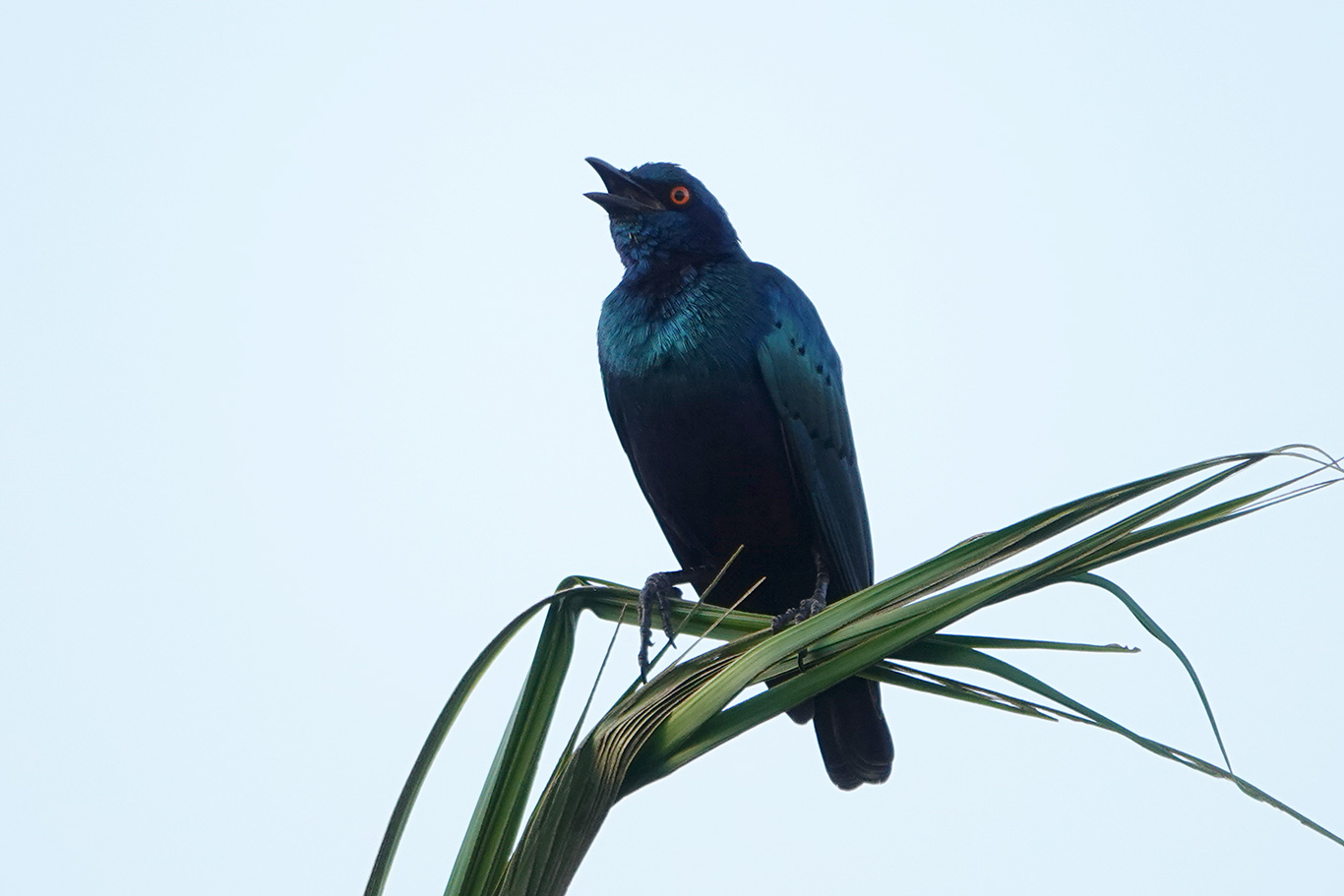 Lesser Blue-eared Starling, Kartong, The Gambia.