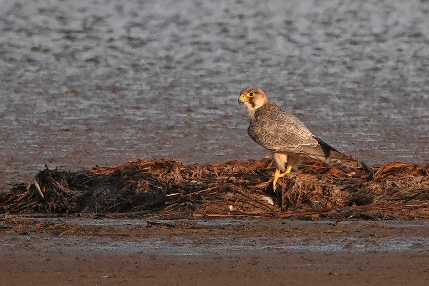 Red-necked Falcon, Kaolack, Senegal.