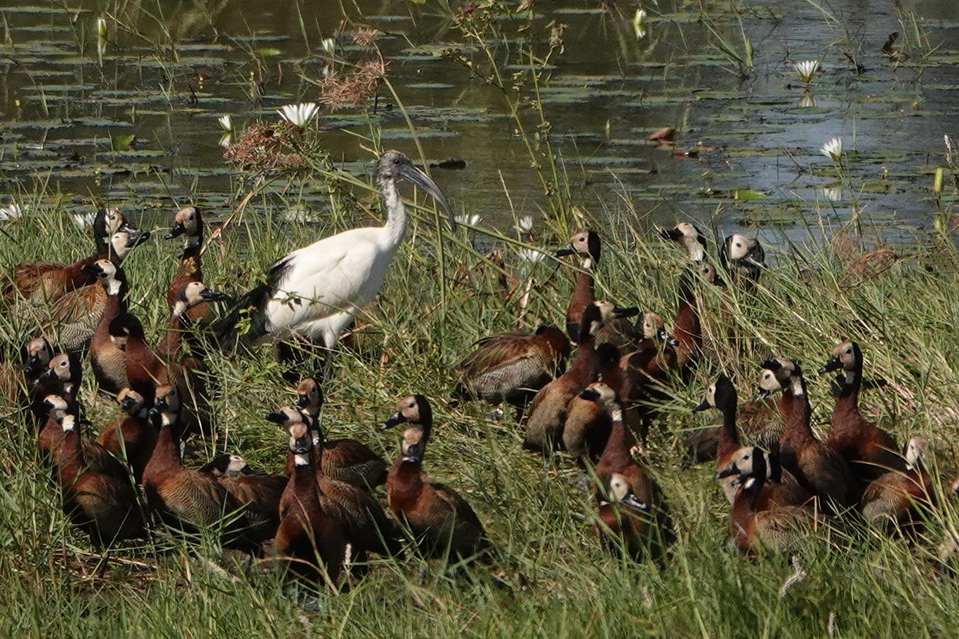 Sacred Ibis, Kartong, The Gambia.