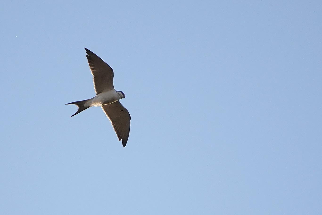 Scissor-tailed Kite, Kaolack, Senegal.
