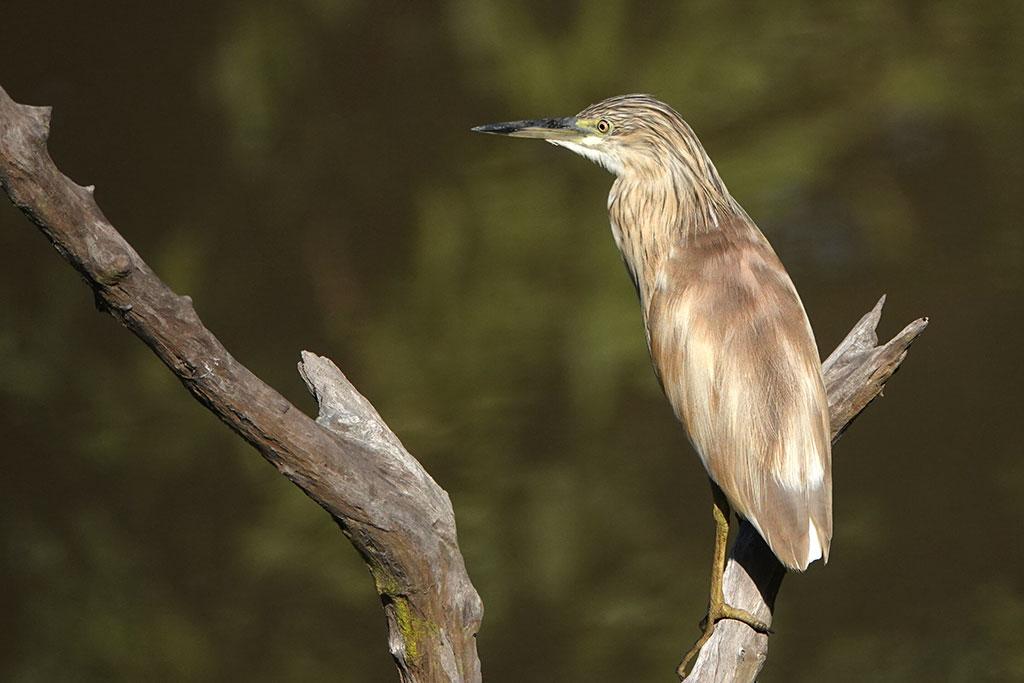 Squacco Heron, Abuko Nature Reserve, The Gambia.