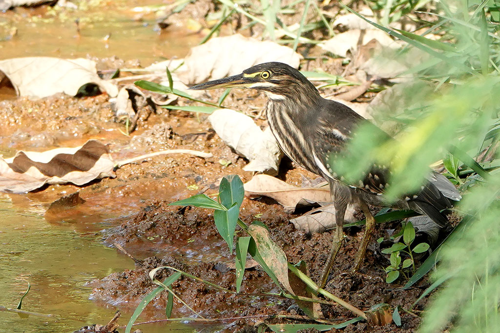 Striated Heron, Lamin Rice Fields, The Gambia.
