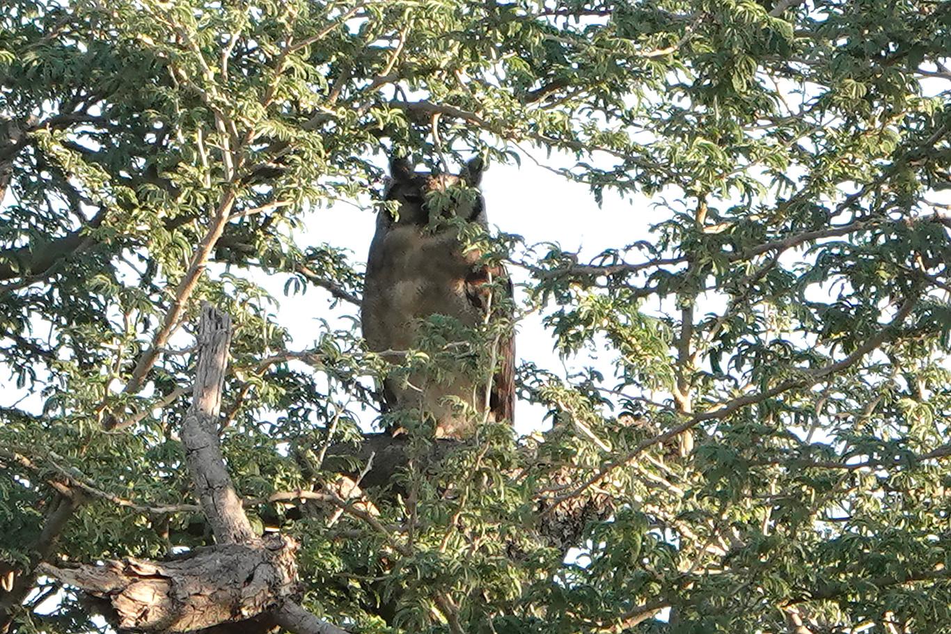 Verreaux's Eagle Owl, Near Farafenni, The Gambia.