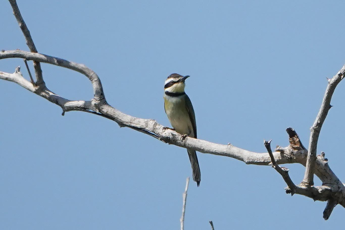 White-throated Bee-eater, Kartong, The Gambia.
