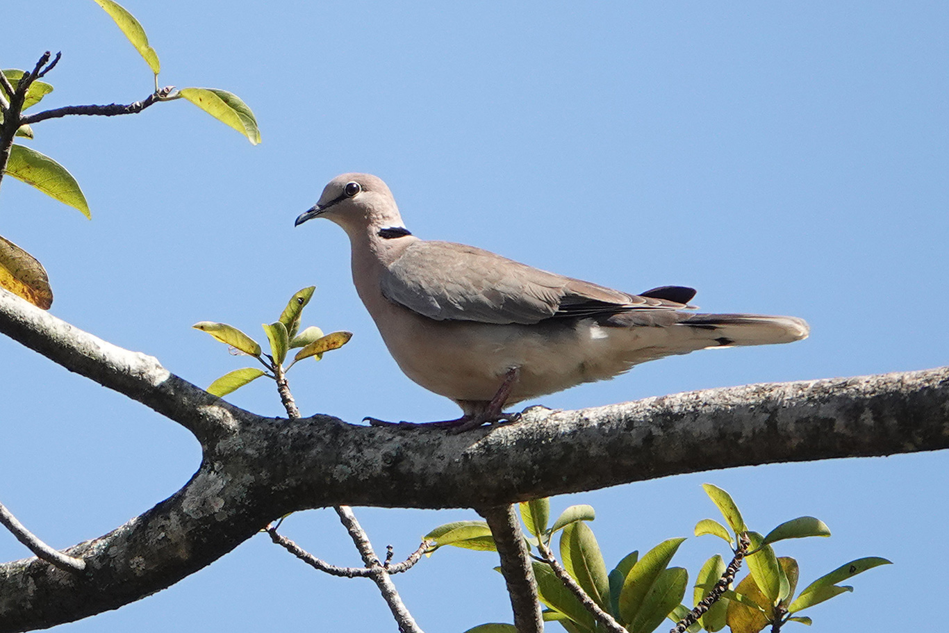 African Collared Dove, South Bank Road, The Gambia.