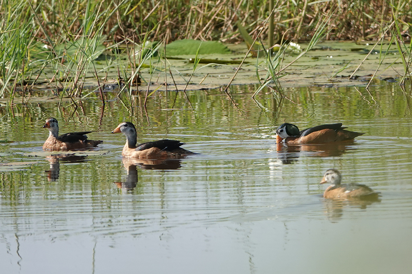 African Pygmy Goose, Jakhaly, The Gambia.